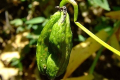 Unripe-fruit-of-Climbing-lily