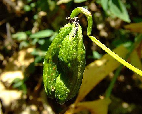 Unripe-fruit-of-Climbing-lily