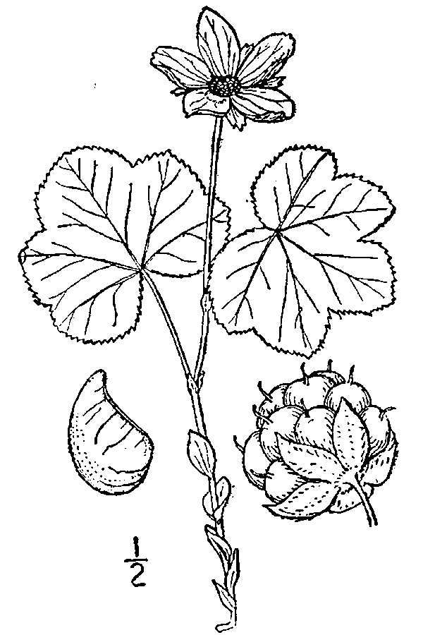 Drawing-of-Cloudberry
