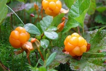 Cloudberry-fruit