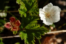 Cloudberry-flower