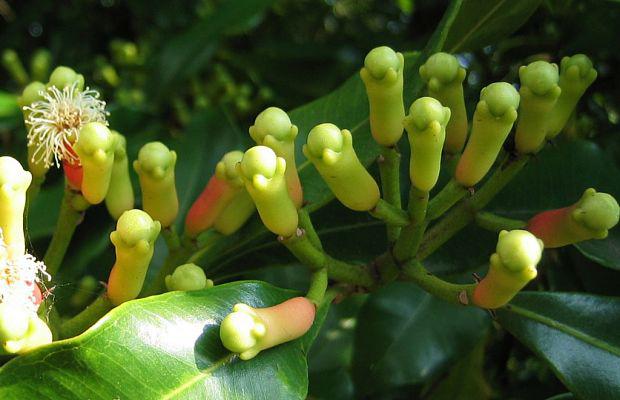 Flower-buds-of-Cloves