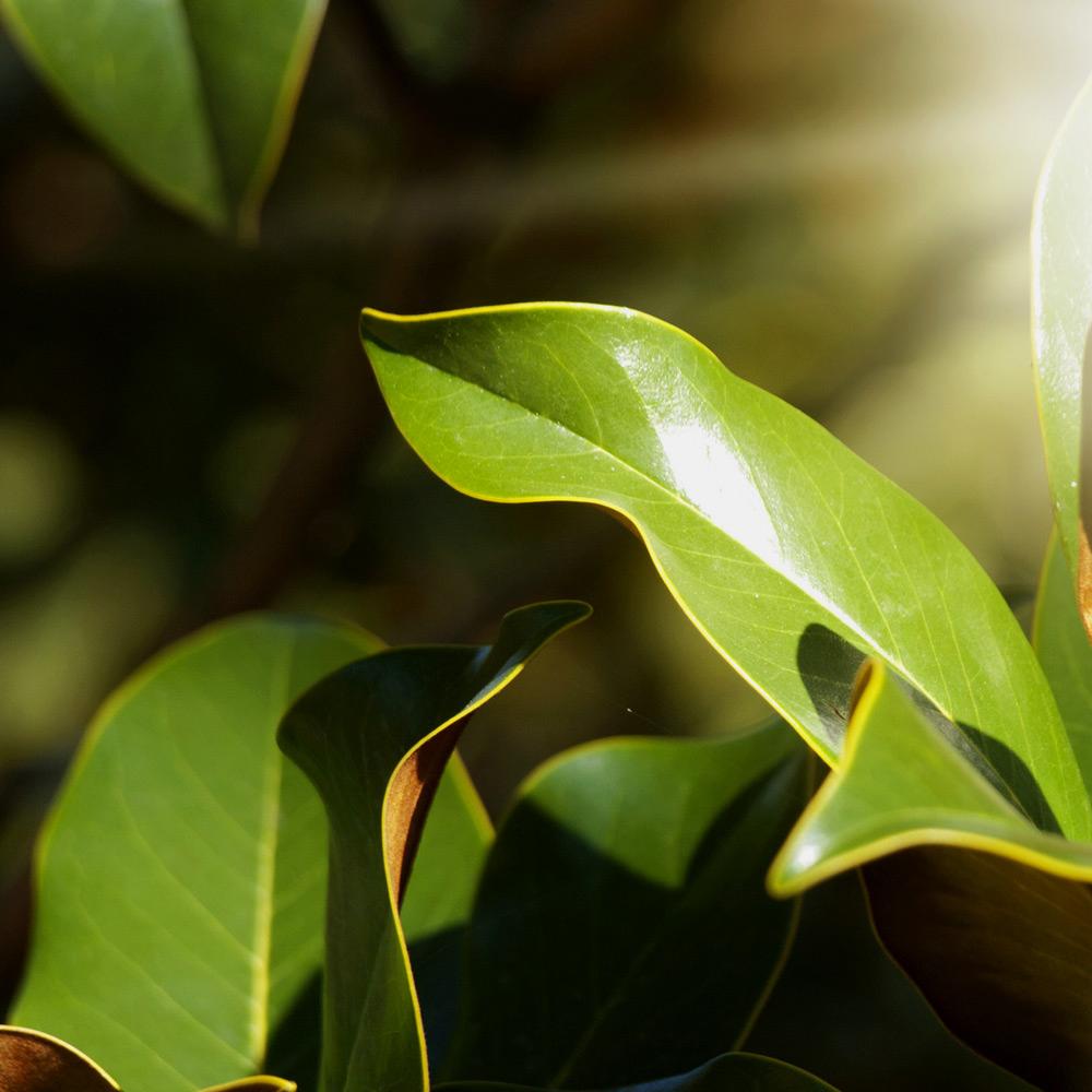 Leaves-of-Cloves