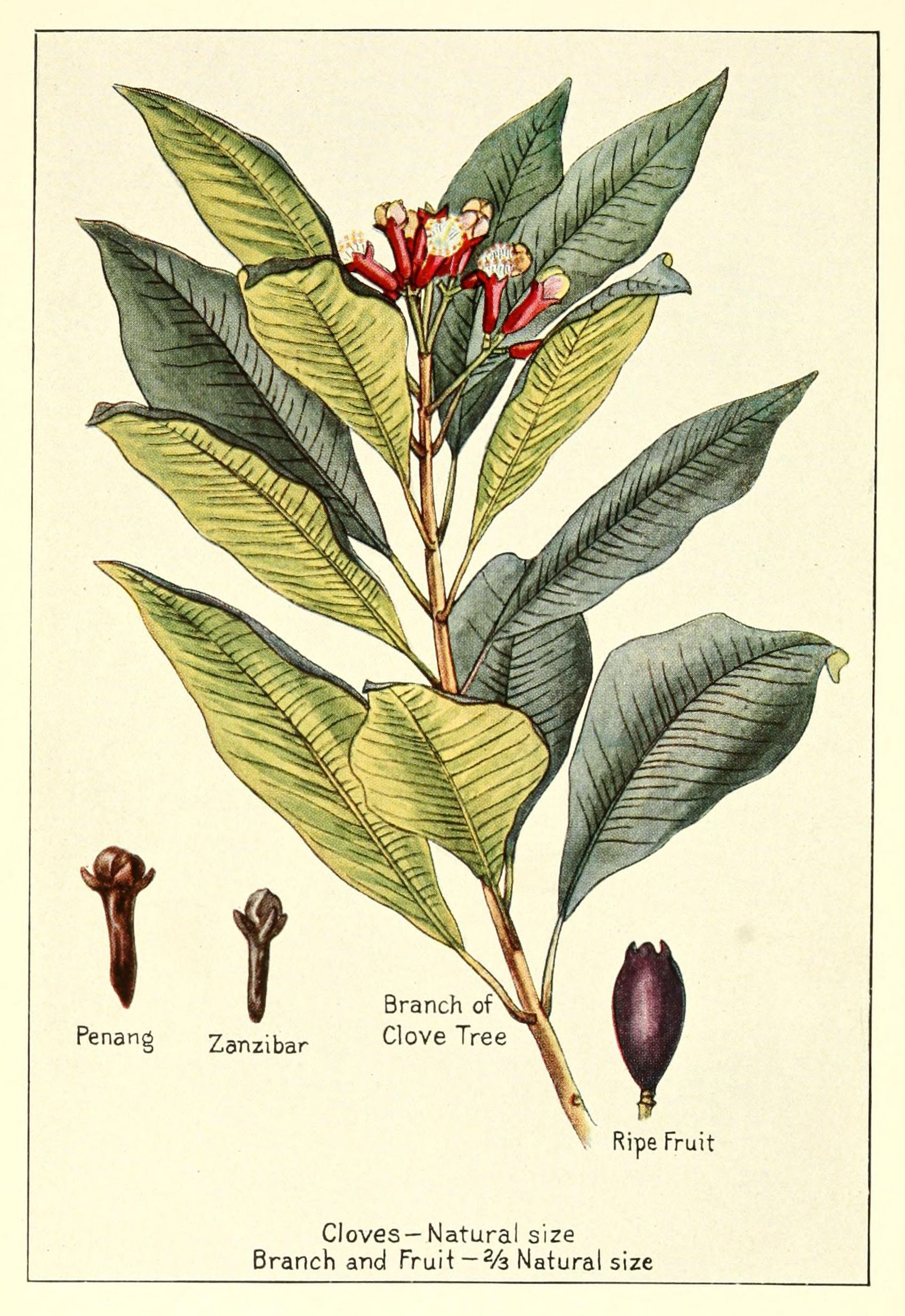Plant-illustration-of-Cloves