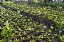 Cloves-seedlings-ready-to-plant