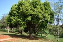 Cloves-tree