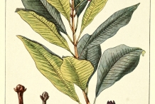 Plant-illustration-of-Cloves