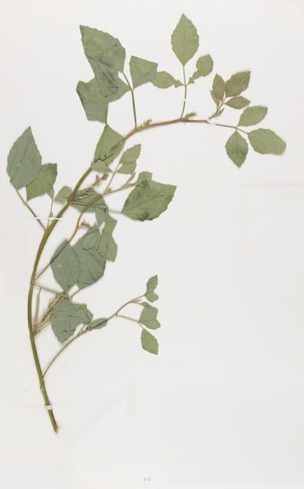 Dried-Cluster-Beans-plant