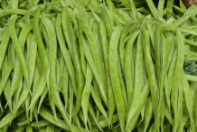 Cluster-Beans-collection