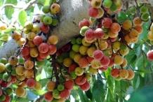 Cluster-fig-fruit