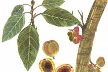 Cluster-fig-plant-illustration