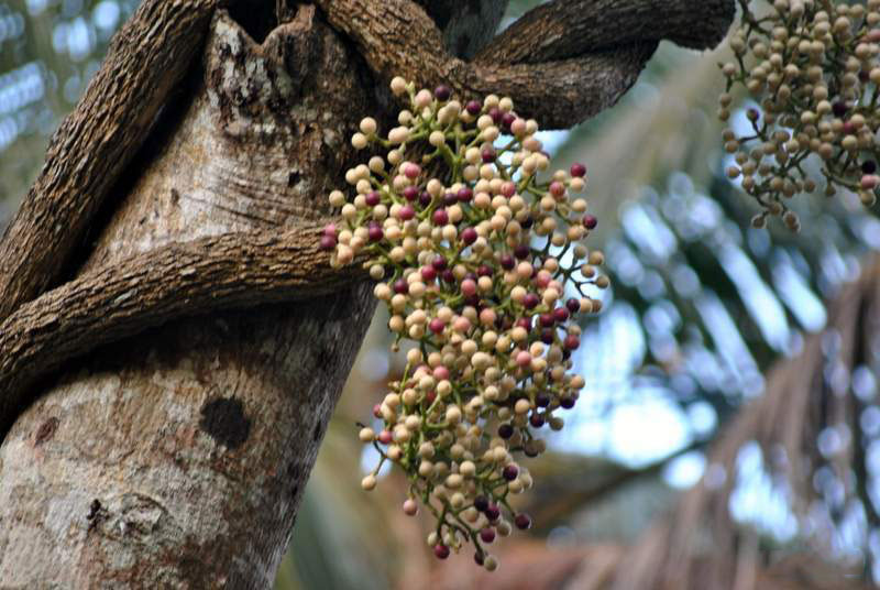 Cocculus-Fruits-on-the-tree