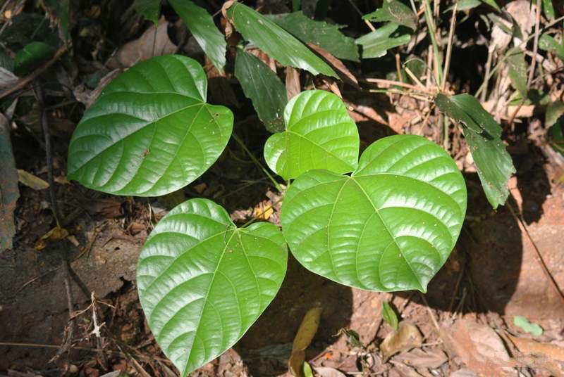 Cocculus-Plant