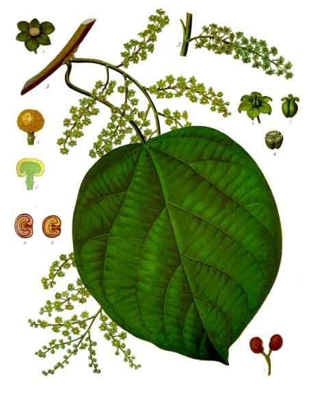 Plant-Illustration-of-Cocculus