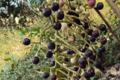 Mature-fruits-of-Cocculus