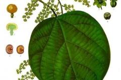 Plant-Illustration-of-Cocculus