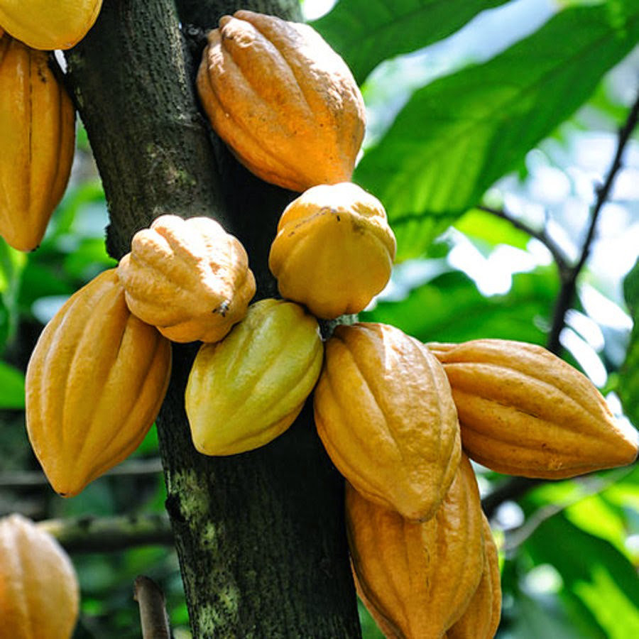 Cocoa Bean Facts, Health Benefits And Nutritional Value