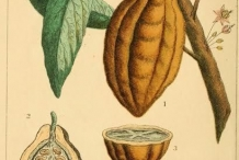 Cocoa-bean-illustration