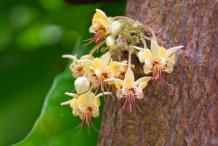 Cocoa-bean-flowers-Cocoa