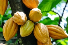 Cocoa-bean-fruit-Cacao