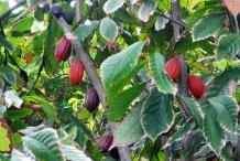 Cocoa-bean-leaves