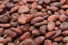 Cocoa-bean-seeds