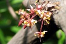 Cocoa-flower