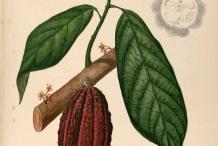 Cocoa-illustration