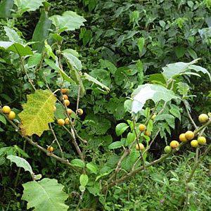 Cocona-plant-growing-wild