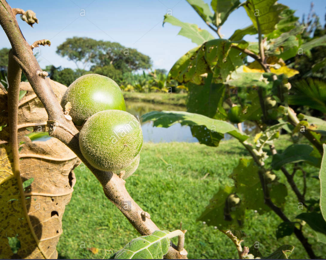 Immature-fruits-of-Cocona-plant
