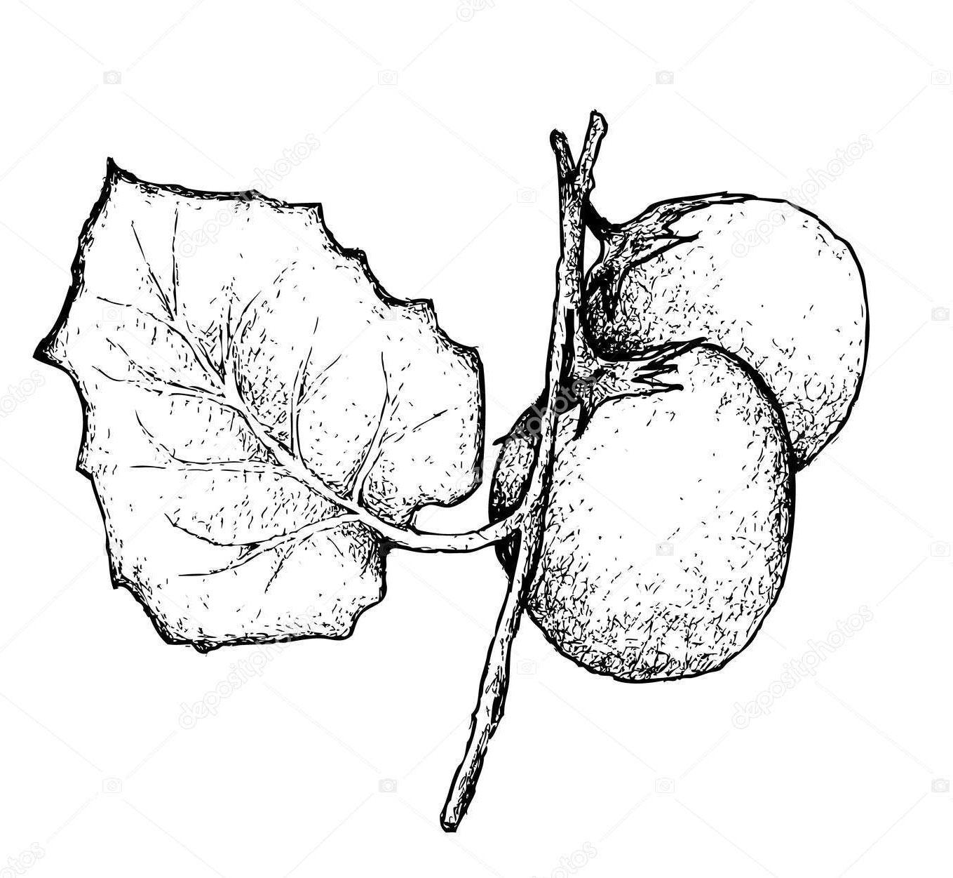 Plant-Illustration-of-Cocona