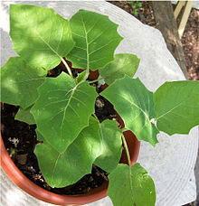 Small-Cocona-plant