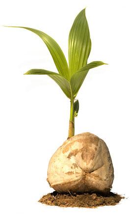Coconut-seedlings