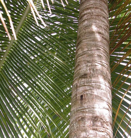 Coconut-trunk