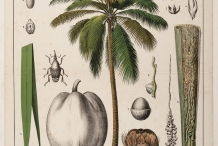 Coconut-illustration