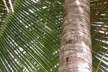 Coconut-trunk