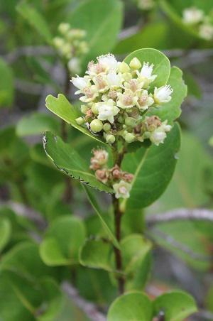 Cocoplum--Flower