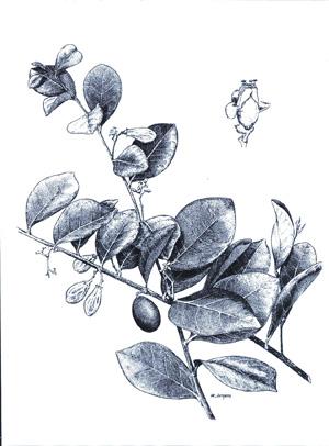 Cocoplum--plant-sketch
