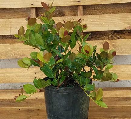 Small-Cocoplum-plant