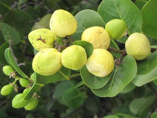 Unripe-Cocoplum