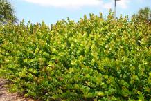 Cocoplum-farming