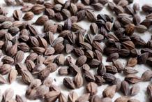 Cocoplum-seeds