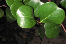 Leaves-of-Cocoplum