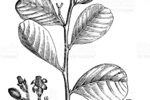Plant-Illustration-of-Cocoplum