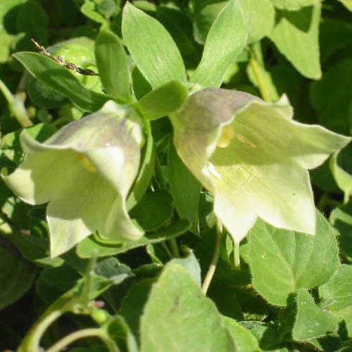 Flower-of-Codonopsis