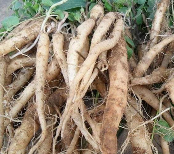Fresh-root-of-Codonopsis