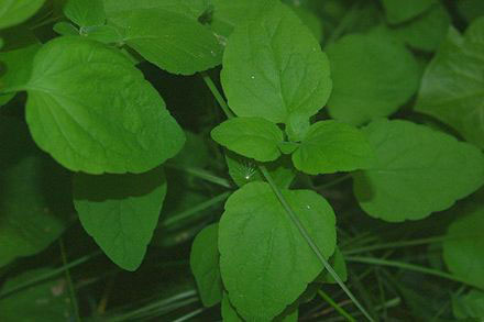 Leaves-of-Codonopsis