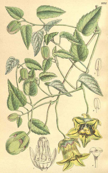 Plant-Illustration-of-Codonopsis