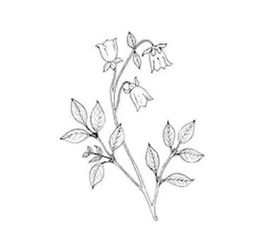 Sketch-of-Codonopsis