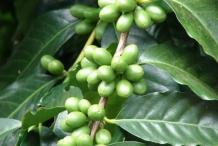 Coffee-fruit-green